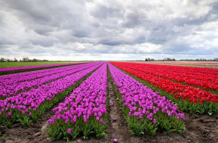 huge fields with purple and red tulips under clouded sky in Netherlands photo