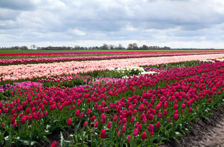 rows of tulip fields in Schagen in Netherlands photo
