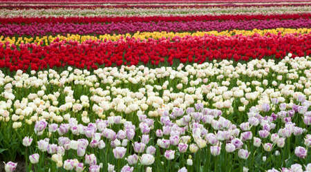 stripes of Dutch fields with many colorful tulips Stock Photo - 13886240