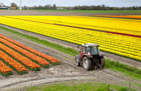 olc tractor on the Dutch tulip fields photo