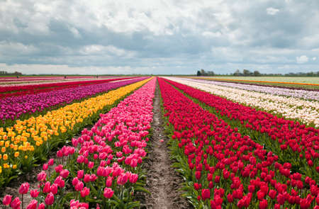 tulips: pink, red and orange tulip field in North Holland during spring Stock Photo