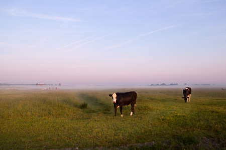 cows on Dutch pastoral in early morning during sunrise photo
