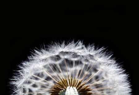 macro of dry dandelion on black background photo