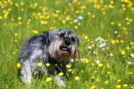 gray cute schnauzer in the grass outdoors Stock Photo - 14072103