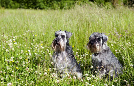 two miniature schnauzers in the grass outdoor Stock Photo