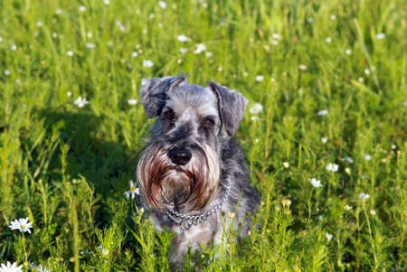 pepper and salt miniature schnauzer outdoor photo