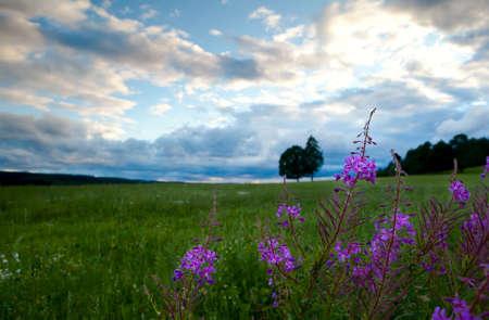 wil: wild purple summer flowers on meadows