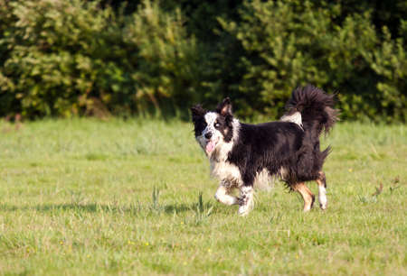 border collie walks outdoors photo