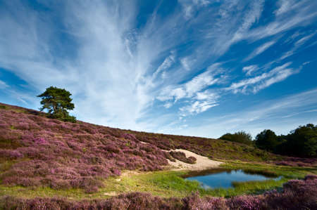 dunes and meadows in Rheden covered with flowering Calluna vulgaris - heather photo