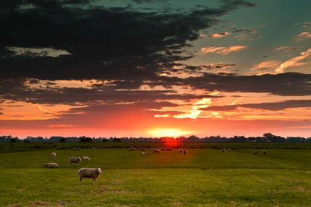 few sheep on pasture at sunrise against sun