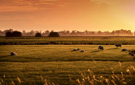 pastoral: sheep on Dutch pastoral at colorful sunrise