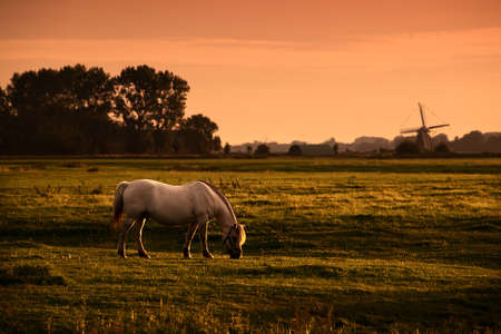 white horse on Dutch pasture with windmill  at sunrise photo