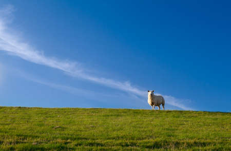 white cute sheep on pasture over blue sky