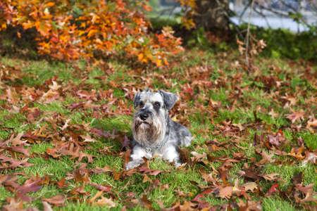 cute zwergschnauzer on fallen leaves in autumn photo