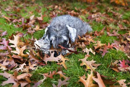 cute dog zwergschnauzer in the grass during autumn photo
