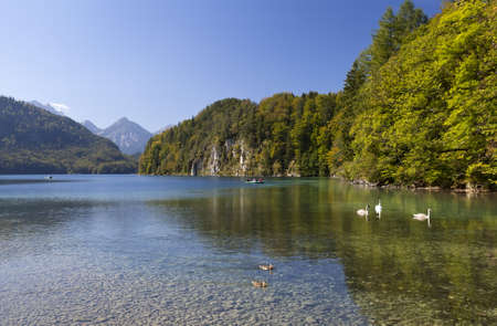 family of white swans on Alpsee lake in Alps, Bavaria photo