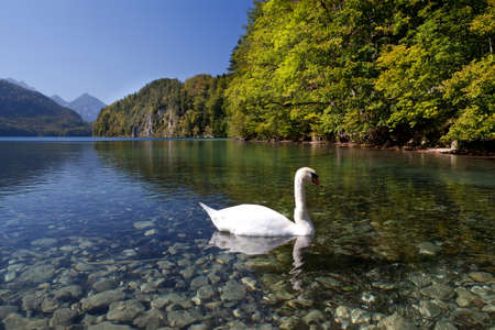 white swan on lake Walchensee during autumn photo