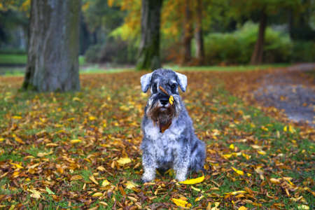 cute pepper and salt mini schnauzer in autumn park with leaves on his muzzle photo
