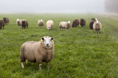 few Dutch sheep on pasture covered with fog Stock Photo - 16464465