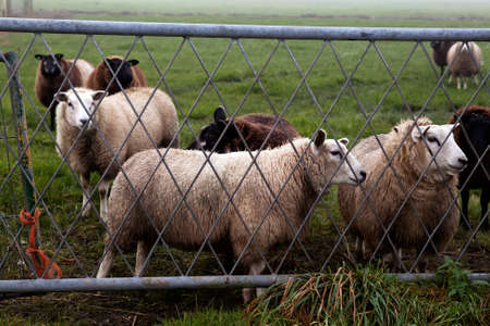 few Dutch sheep behind metal fence photo