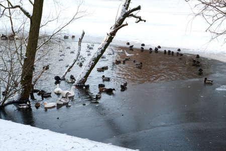 waterfowl: waterfowl on frozen lake in winter Stock Photo