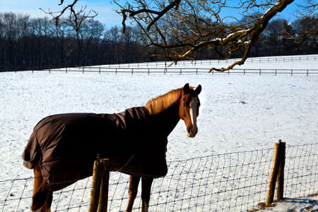 blanket horse: horse in warm blanket on winter pasture covered with snow