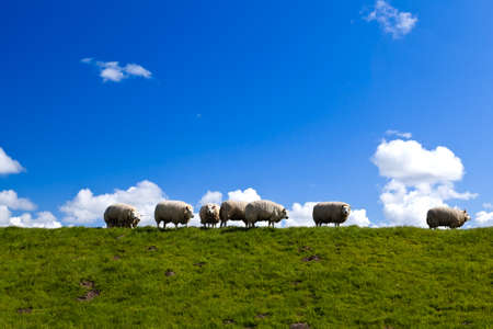 few Dutch sheep on horizon over blue sky Stock Photo - 16504554