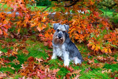 cute gray zwergschnauzer in autumn park photo