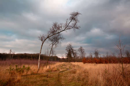 birch on wild savanna at clouded weather, Dwingelderveld Stock Photo - 16923531