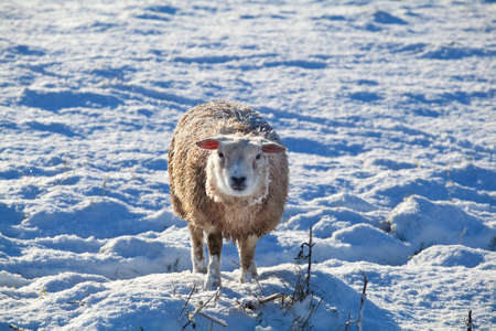 cute Dutch sheep on snow pasture in winter photo