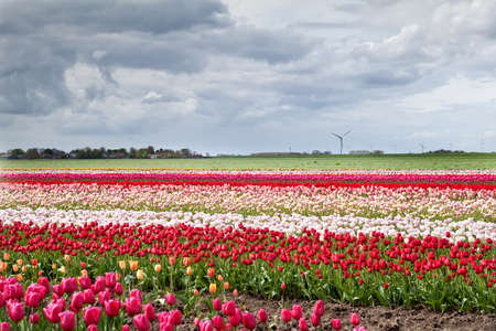 colorful tulip fields in Holland Stock Photo - 17257525