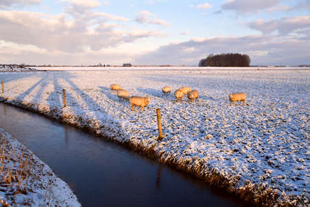 Durch sheep herd on winter pasture by canal photo