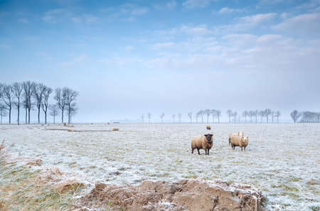 sheep outdoors on winter pasture Stock Photo - 17424402