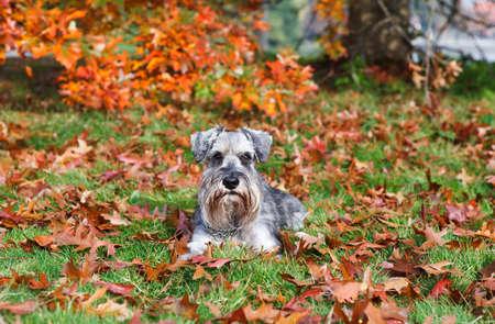 cute miniature schnauzer during autumn outdoors photo