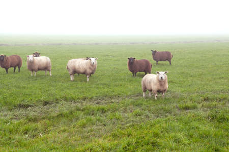 Durch sheep on pasture in fog outdoors photo