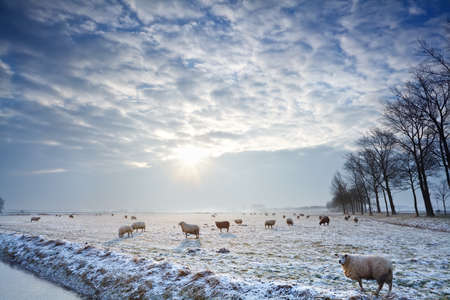 no snow: sunbeams over winter Dutch pasture with sheep