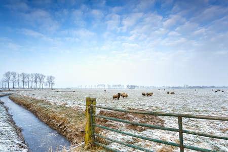 few Dutch sheep on winter pasture Stock Photo - 17749365