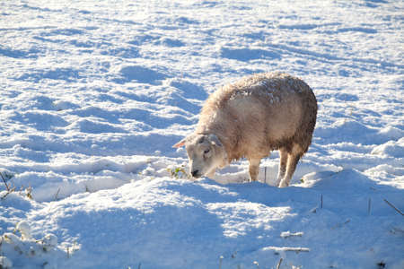Dutch sheep on snowy winter pasture photo