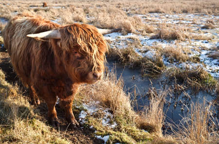 Highland cattle outdoors on pasture in winter photo