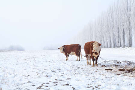 two cows on winter pasture in misty day photo