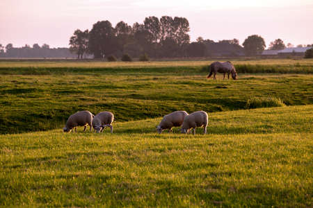 pastoral: sheep and horse on pastoral at sunrise