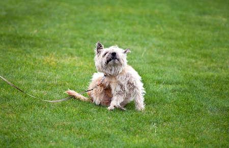 grappige krabben hond met vlooien op gras Stockfoto