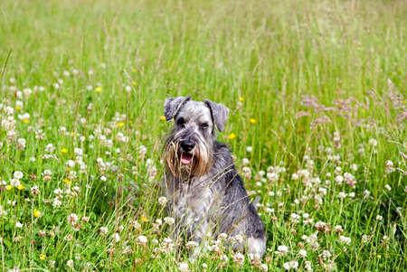 miniature schnauzer among flowers on field outdoors photo