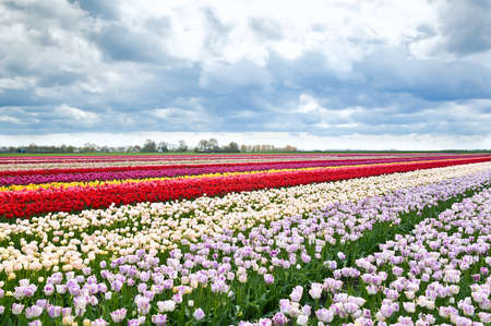 colorful tulips flowers on Dutch spring fields, Holland photo