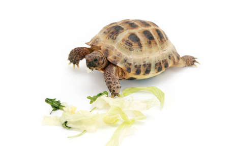 Russian (Asian) tortoise eating cabbage over white background Banco de Imagens