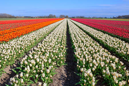 north holland: many red, white, orange tulips on Dutch fields, Schagen, North Holland