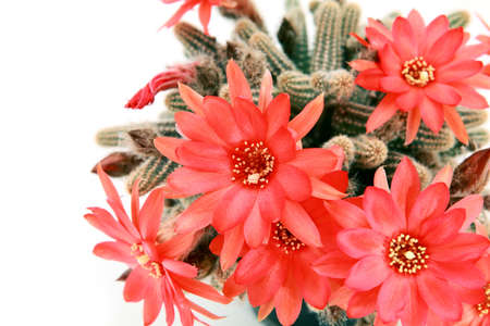 flowering cactus: many red cactus flowers over white background Stock Photo