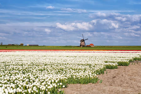 white, red tulip fields and Dutch windmill over blue sky, Alkmaar, North Holland photo