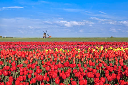 dutch typical: red, pink, yellow tulip fields and  Dutch windmil, Alkmaar, North Hollandl Stock Photo