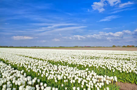 north holland: big fields with white tulips, Alkmaar, North Holland Stock Photo